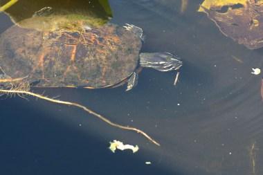 Turtle hunting