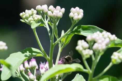 Big furry bee