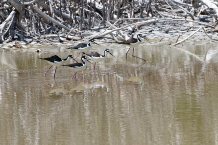 These Black Necked Stilts were fun to watch