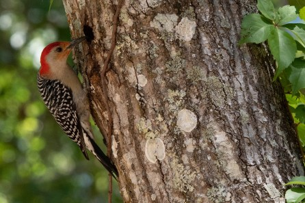 Red Bellied Woodpecker makes a hole