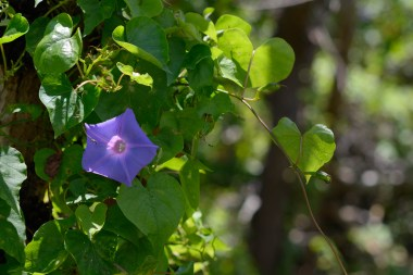 After Hurricane Irma, morning glory and it's heart shaped leaves takes over