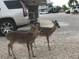 Key Deer make friends in the campground - note the stairs to the pool in the background and there is a small marina to the right