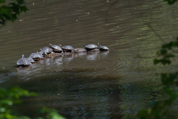Turtles sunning themselves, Hattiesburg, MS