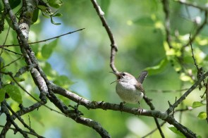 Carolina Wren? singing a love song