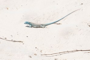 Little White Whiptail lizard adapted to the white color of the sand