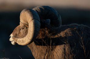 Morning sun lights up this Ram