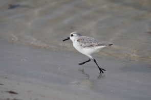 Sanderling endlessly jogs up to the waves and back out at Fort Pickens, Gulf Islands National Seashore Florida