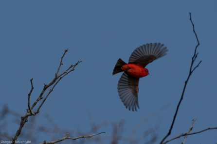 Vermillion Flycatcher escorts us along the path. Brazos Bend State Park, Texas