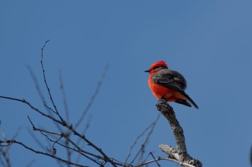Vermillion Flycatcher's colorful plumage fluffs up in the wind. Brazos Bend State Park, Texas