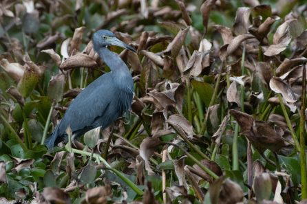 Little Blue Heron such a contrast to the dying leaves around him. Brazos Bend State Park, Texas