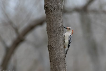 Red Bellied Woodpecker, Brazos Bend State Park, Texas