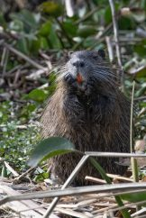 Nutria washes his face as orange teeth peek out of his mouth. Brazos Bend State Park, Texas