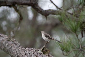 Northern Mockingbird poses