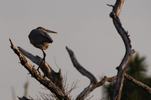 Heron perches with an intense look