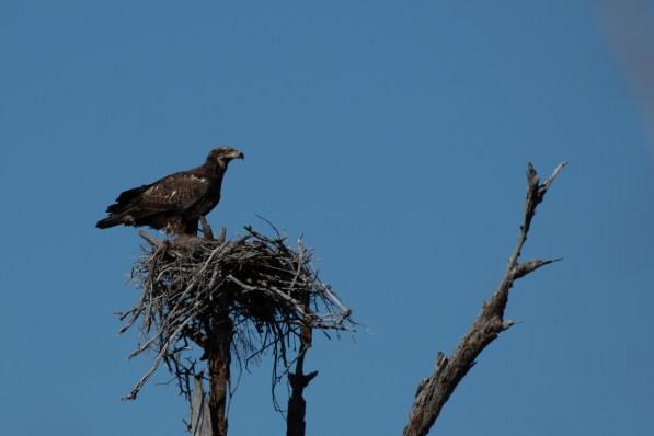 Bald Eagle at Fort Pickens, FL