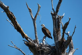 Osprey hangs out by the nest he's claiming