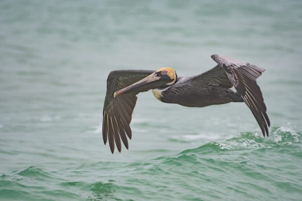 Brown Pelican at Fort Pickens, FL