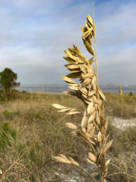 Grasses at Fort Pickens