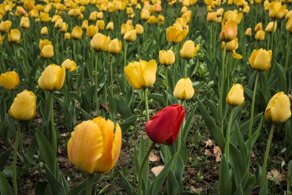 One red tulip in the midst of a field of yellow tulips to show what you need to find the inner you
