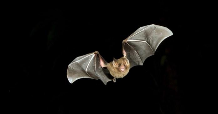 flying bat outline