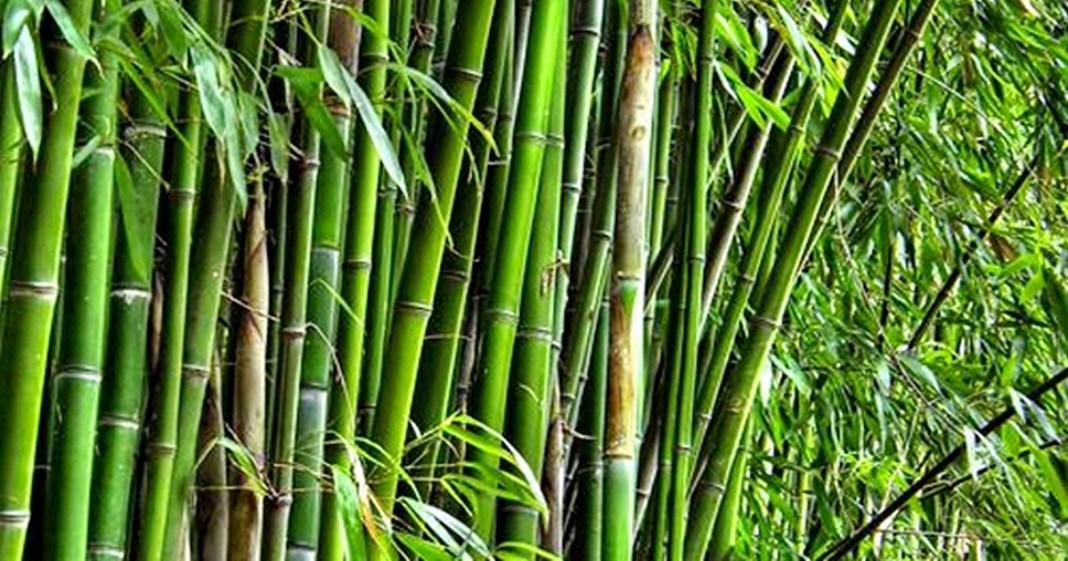 benefits of bamboo tree at home