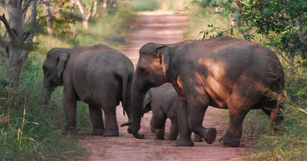elephant increse in uttrakhand