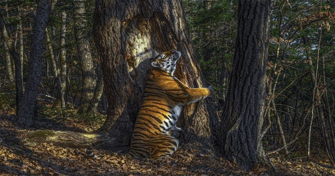 Wildlife Photographer of the Year 2020 Hidden camera's tree-hugging tiger