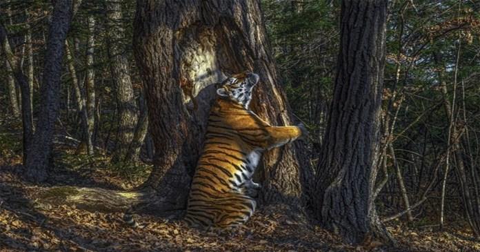 Wildlife Photographer of the Year 2020 Hidden camera's tree-hugging tiger