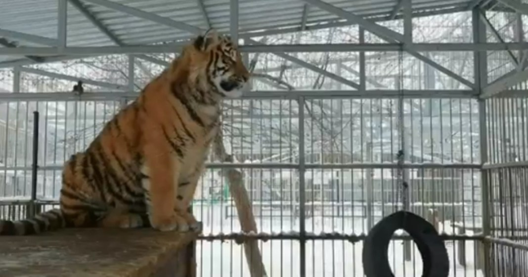Crowds are gathered at the zoo to Watch singing tiger