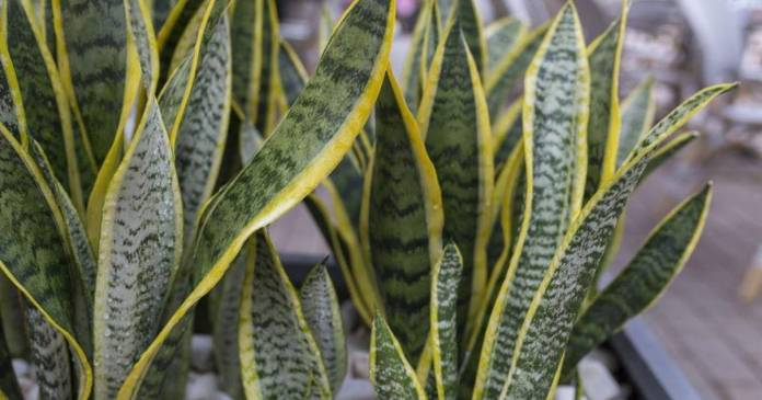 Snake plant bring back happiness
