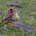 Great Rosefinch- Kazbegi- Georgia April 14