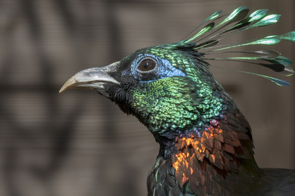 A Beautiful Himalayan monal bird head closeup