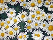 DAISIES Acrylic on block canvas 61 cm x 46 cm This was painted for my 1st granddaughter, Daisy Mae.