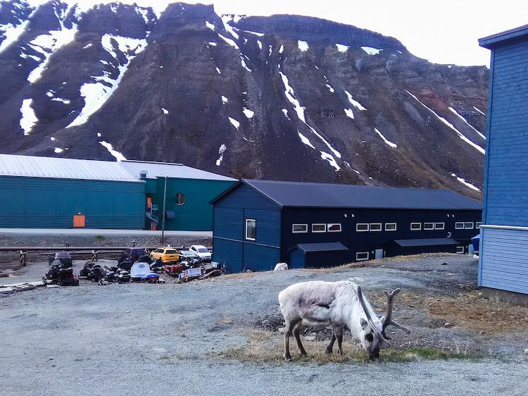 Rena em Svalbard