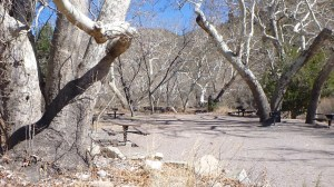 A Picnic Area Around The Sycamore Trees