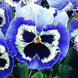Pansy Snowpansy Blue   White   Pansy Flower Seeds Pansy  Pansy Snowpansy Blue   White    Pansy flowers are a group of  large flowered hybrid plants grown as garden flowers  Pansies are bred from  Viola