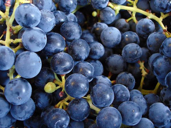 Making Grape Juice