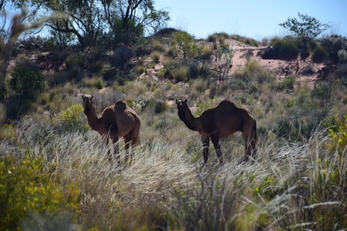 2 camels CSR.jpg