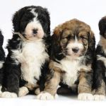 10 Cute Designer Breeds Puppies