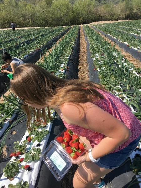 tanaka-farms-picking-strawberries