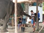 olifanten voeren