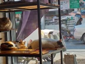 Thaise siesta katten
