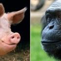 Humanos teriam surgido após acasalamento entre porco e chimpanzé 1