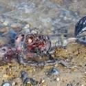 Suposto cadáver de sereia é encontrado em praia da Inglaterra 31