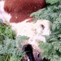 Mais mutilações misteriosas de gado ocorrem na Argentina 17