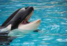 white and black killer whale on blue pool