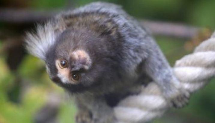Cientistas colocaram genes humanos em cérebros de macacos