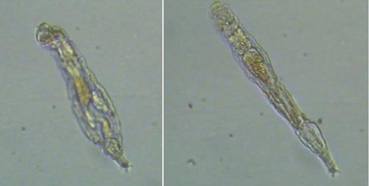 Cientistas reanimaram rotíferos - organismos microscópicos de 24 mil anos