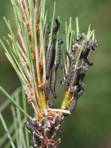 Caterpillars on pine