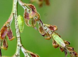 Damaged leaves on honeylocust